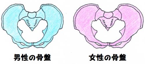 男性と女性の骨盤