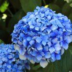 ながさき紫陽花まつり(ナガサキオタクサマツリ)
