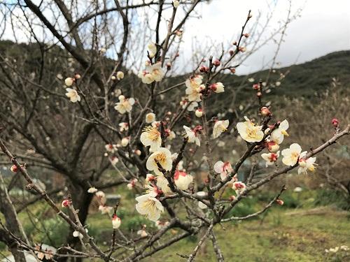 長崎の梅の花
