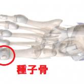 種子骨の図