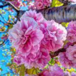 大村桜まつり
